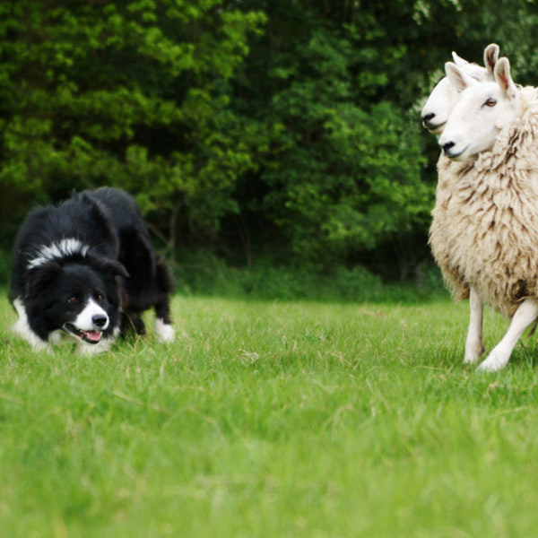 A great close-up of border collie sheepdog Glen stylishly herding some sheep